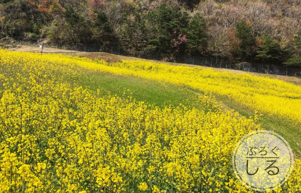 翠波高原の菜の花畑